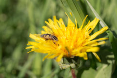 Big fly on a dandelion Royalty Free Stock Photo