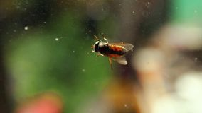 Big Fly Insect Creeping by the Glass stock footage