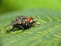 Big fly on leaf Royalty Free Stock Image