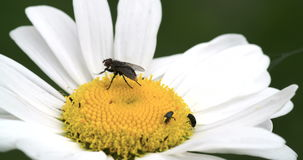 A big fly on the mayweed flower 4K FS700 Odyssey 7Q Stock Image