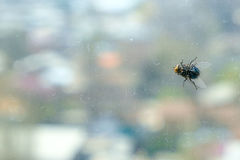 Big fly sitting on the window Royalty Free Stock Image