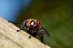 Big fly sitting on a wooden fence. A macro of a big fly sitting on a wooden fence Stock Photos