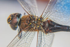 Big Fly wings Royalty Free Stock Photography