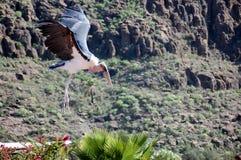 Big Flying marabou stork Stock Photography