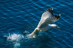 Big flying Seagull Royalty Free Stock Photography