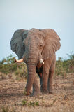 Big Foot Elephant. A giant of a Bull Elephant approaches slowly Royalty Free Stock Image