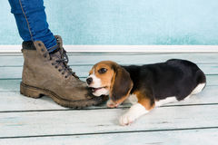 Big foot small puppy Stock Image