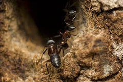 Big forest ant Royalty Free Stock Photo