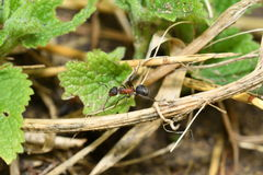 Big forest ant and anthill Stock Photography