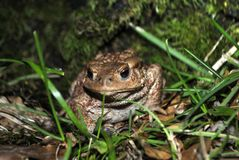 Big forest toad. Close up of a big forest toad in the grass at night Stock Image