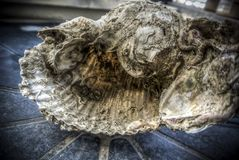 Large Seashell. A big fossilized seashell on a table Stock Photos