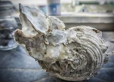 Large Seashell. A big fossilized seashell on a table Stock Photography