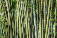 Big fresh bamboo grove in forest Stock Photos