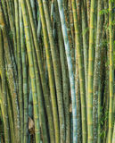 Big fresh bamboo grove in forest Royalty Free Stock Image