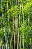 Big fresh bamboo grove in forest Royalty Free Stock Images