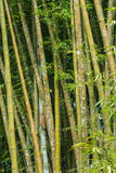 Big fresh bamboo grove in forest Royalty Free Stock Photo