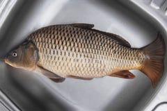 Big fresh carp fish Royalty Free Stock Images