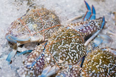 Big fresh crab on ice for dinner Royalty Free Stock Image