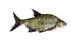 Big fresh fish bream isolated on white Royalty Free Stock Photo