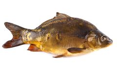 Big fresh mirror carp on white background Stock Photos