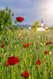 Big fresh poppies in the field. Big fresh poppies in the green field near the village church in sun light Royalty Free Stock Image