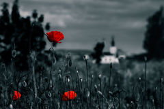 Big fresh poppies in the field. Big fresh poppies in the green field near the village church  two color black and red style Stock Photography