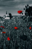 Big fresh poppies in the field. Big fresh poppies in the green field near the village church  two color black and red style Royalty Free Stock Photo