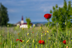 Big fresh poppies in the field. Big fresh poppys in the green field near the village church Stock Photography