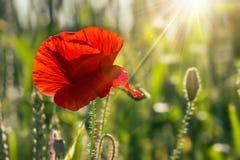 Big fresh poppy in the field. Big fresh poppy in the green field stock image