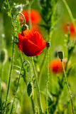 Big fresh poppy in the field. Big fresh poppy in the green field Stock Photography