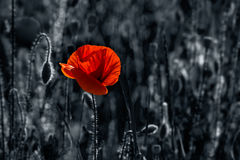 Big fresh poppy in the field. Two color black and red style Royalty Free Stock Images