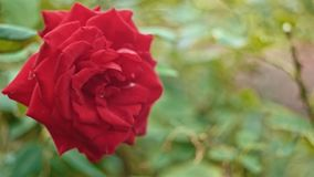 Big fresh rose on wind stock video footage