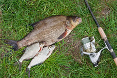Big freshwater common bream and white bream or silver bream fish Royalty Free Stock Photo