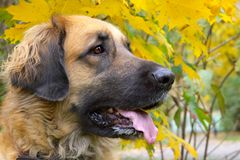 The big friend. Leonberger is a big friendly dog Stock Images