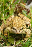 Big frog. A large frog in the grass of the Austrian Alps Stock Photos