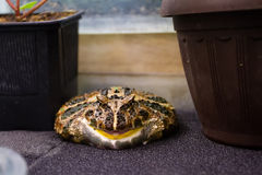 Big frog in an aquarium. Toad sits in aquarium and looking at viewer Royalty Free Stock Photos