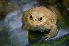 Big frog in the farm royalty free stock photo