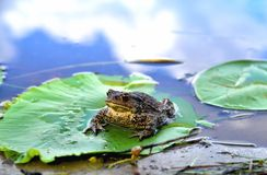 Big frog, green leaf of water lily, water, reflection of clouds in water. Close-up royalty free stock photo