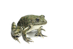 Big frog with green spots Stock Images