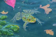 Big frog in the lake. Of the park royalty free stock photo