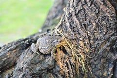 big frog on a log bark royalty free stock image