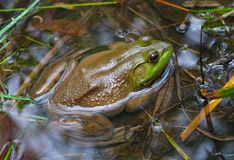 Green frog in swamp water pond wild amphibian. Big frog in pond swamp green amphibian environment conservation wild animal lake ecology Stock Images