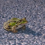 Big frog on the road stock image