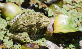 Big frog sitting in the marsh Stock Photography
