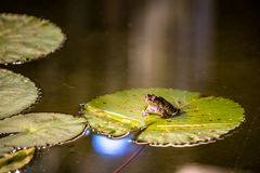 Big frog is sitting on the water-lily green leaf Royalty Free Stock Photos