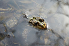 Big frog in the water Royalty Free Stock Images