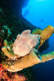 Big frogfish on a sponge Royalty Free Stock Images