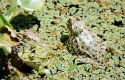 Big frogs in the marsh. Big green frogs in the marsh Royalty Free Stock Image