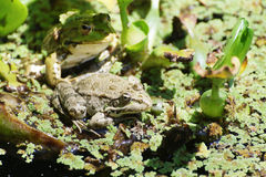 Big frogs in the swamp. Big green frogs in the swamp Stock Photo