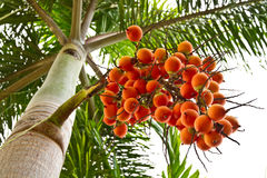 Big fruit  of palm. Stock Photos